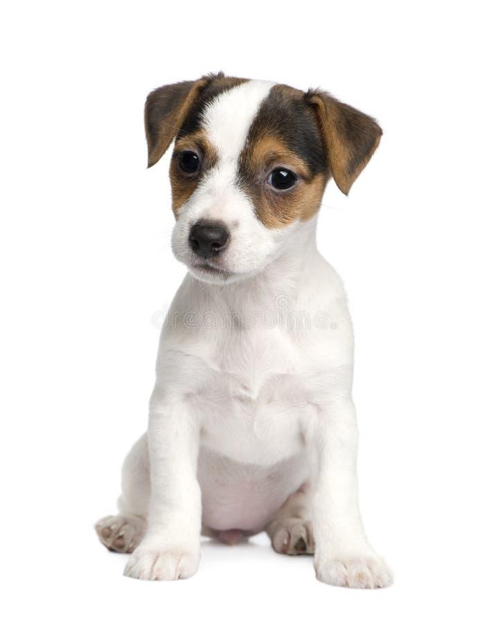 Filhote de cachorro Jack russell (8 semanas) foto de stock