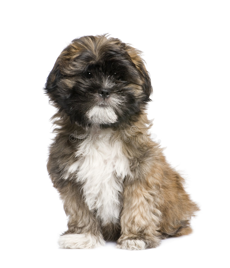 Filhote de cachorro Lhasa Apso (3 meses) fotografia de stock