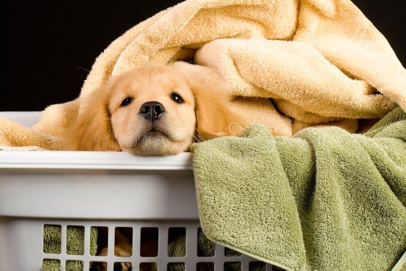 Filhote de cachorro macio em uma cesta de lavanderia fotografia de stock royalty free
