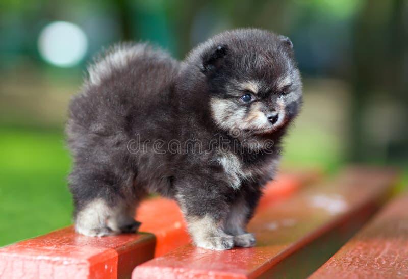 Filhote de cachorro macio pequeno de Pomeranian fotos de stock