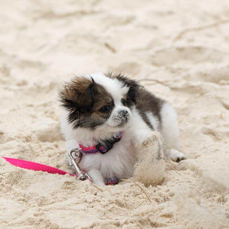 Filhote de cachorro maltês de Shih Tzu imagem de stock royalty free