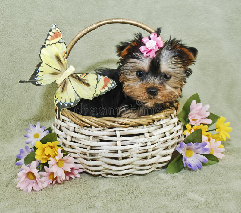 Filhote de cachorro muito bonito de Yorkie imagens de stock royalty free