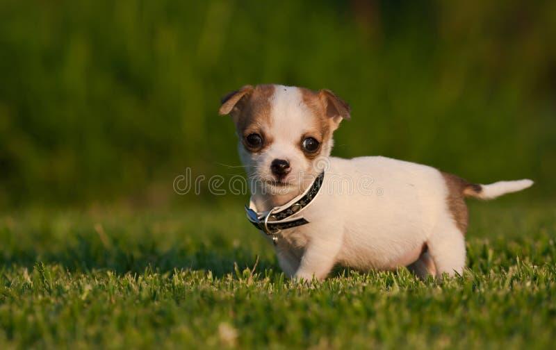 Filhote de cachorro muito bonito em um gramado manicured imagens de stock