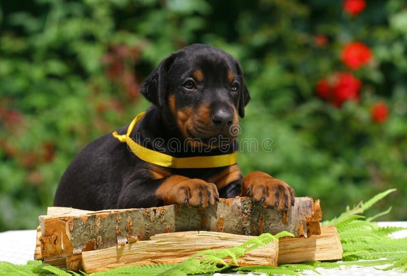 Filhote de cachorro na madeira imagens de stock