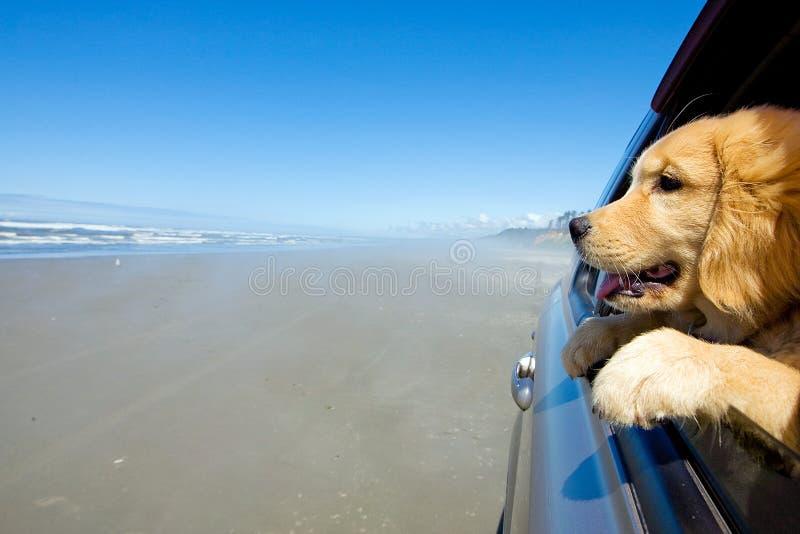 Filhote de cachorro na praia imagem de stock royalty free