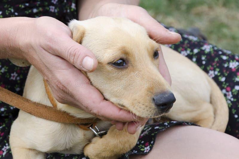Filhote de cachorro nas mãos da mulher fotografia de stock royalty free
