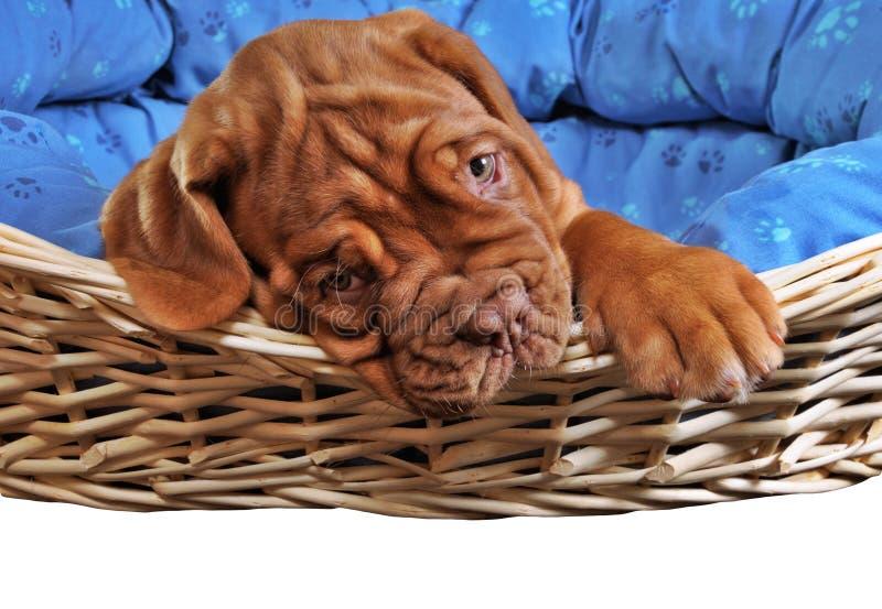 Filhote de cachorro no berço do filhote de cachorro foto de stock royalty free