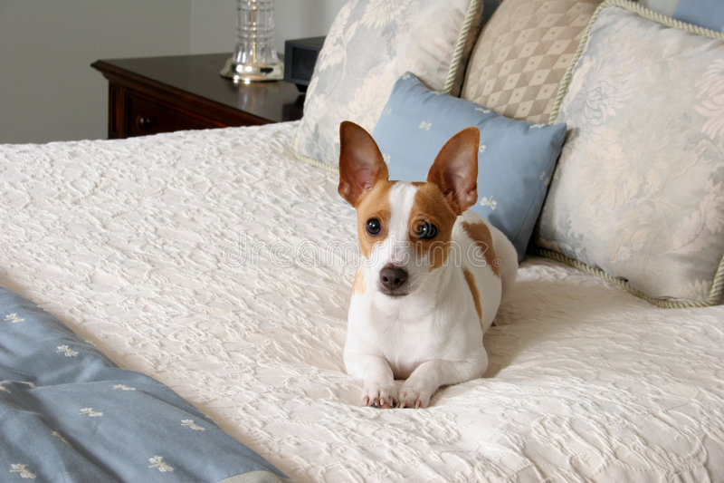 Filhote de cachorro Pampered imagem de stock royalty free
