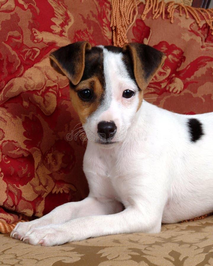 Filhote de cachorro Pampered com descansos vermelhos foto de stock