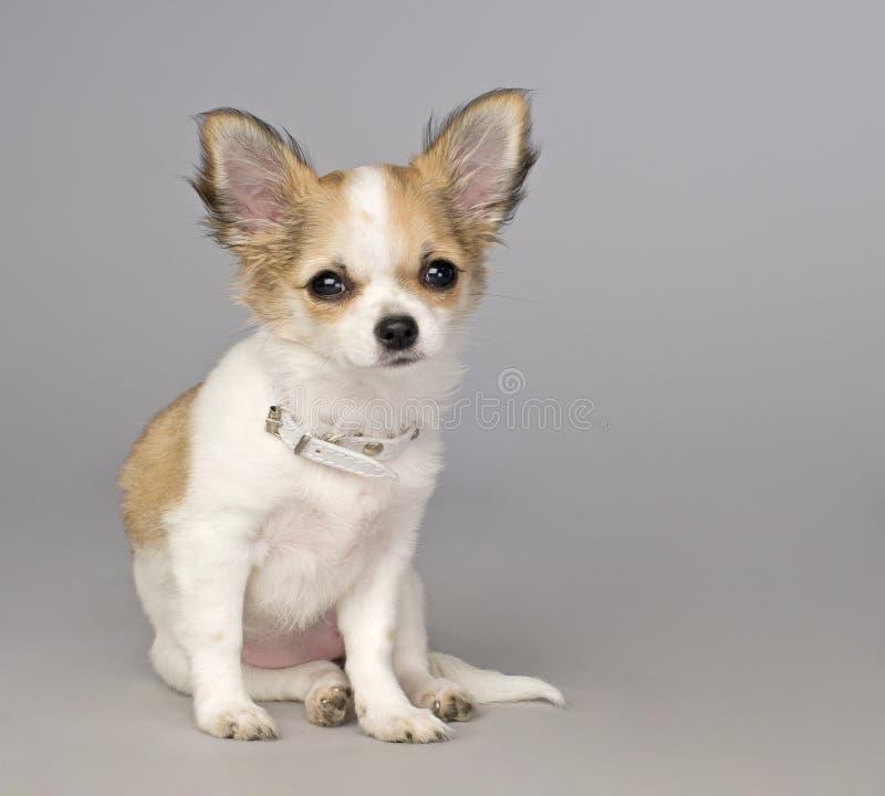 Filhote de cachorro pequeno bonito da chihuahua foto de stock