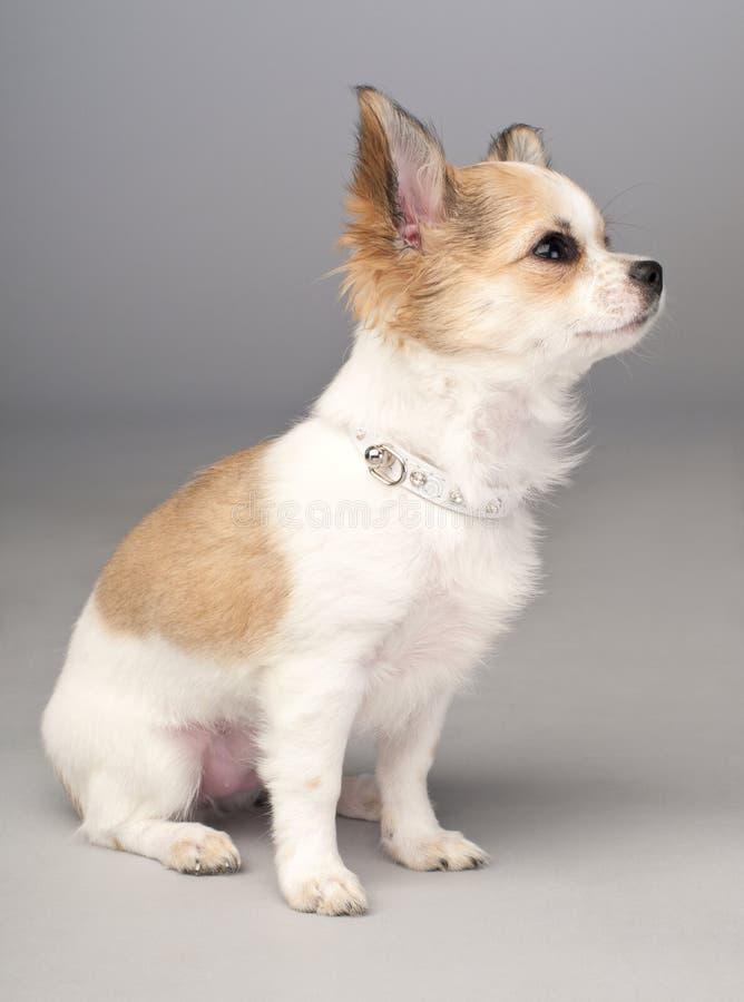 Filhote de cachorro pequeno bonito da chihuahua com colar glamoroso fotos de stock