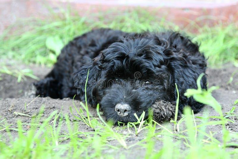 Filhote de cachorro pequeno da caniche fotografia de stock royalty free