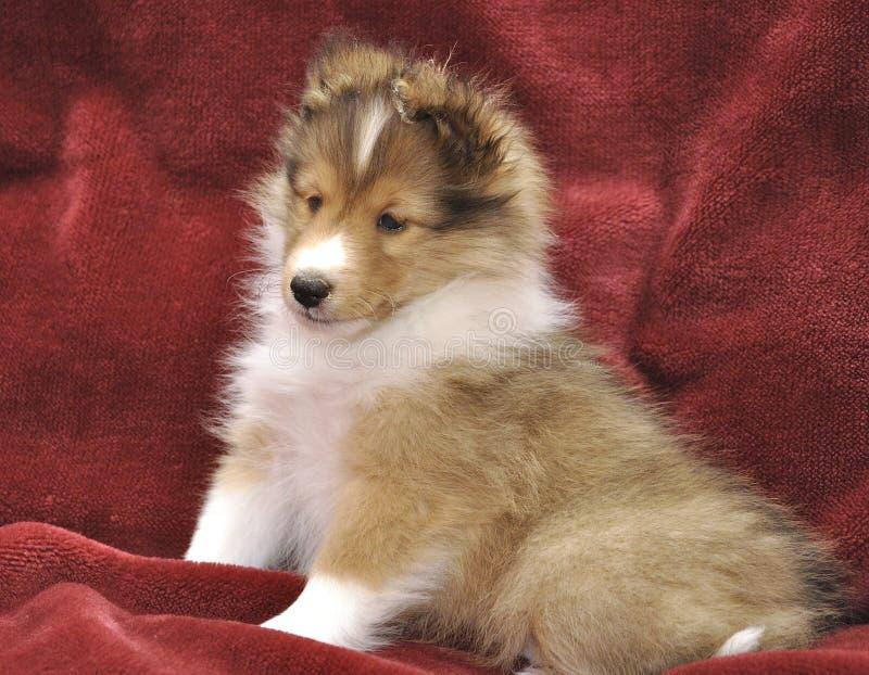 Filhote de cachorro pequeno de Sheltie fotos de stock