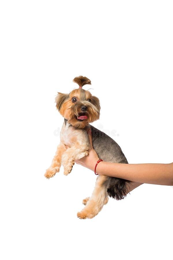 Filhote de cachorro pequeno engraçado de Yorkie na mão do groomer imagens de stock royalty free