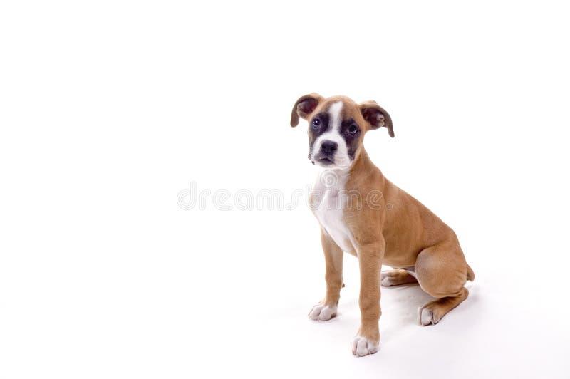 Filhote de cachorro perfeito do pugilista fotos de stock
