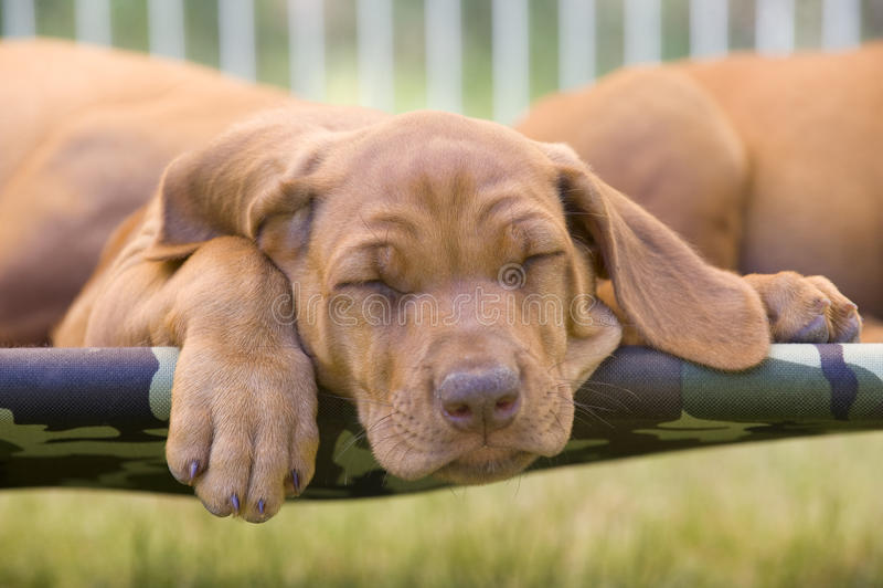 Filhote de cachorro preguiçoso de Rhodesian Ridgeback foto de stock