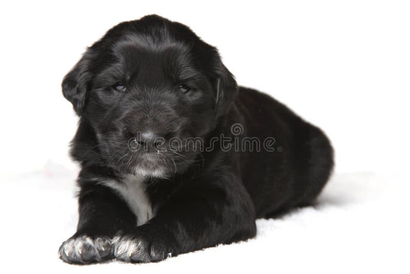 Download Filhote De Cachorro Preto Pequeno Imagem de Stock - Imagem de mongrel, macho: 12808845