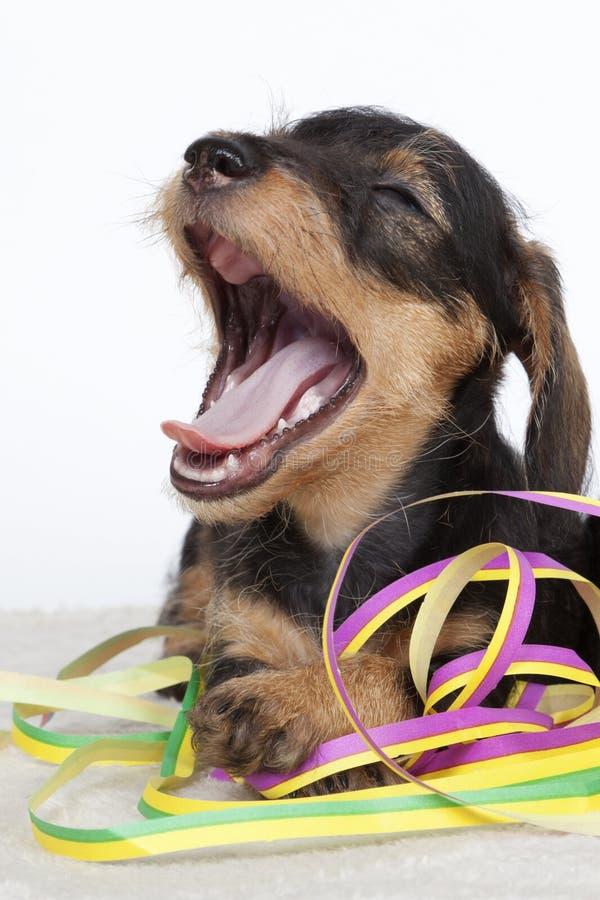 Filhote de cachorro que boceja ao jogar com serpentinas imagem de stock royalty free