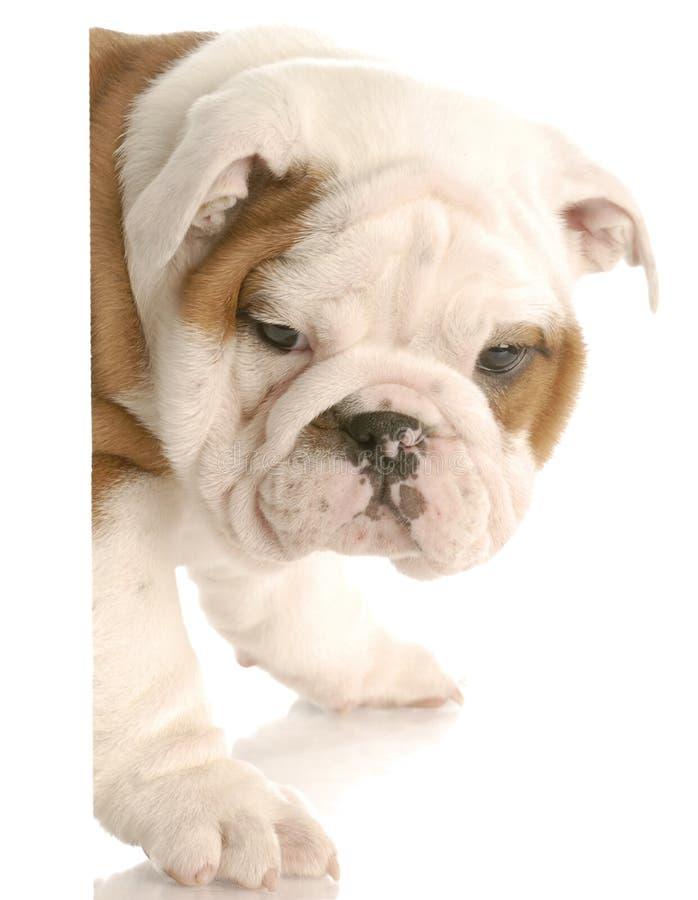 Filhote de cachorro que espreita em torno do canto imagem de stock royalty free