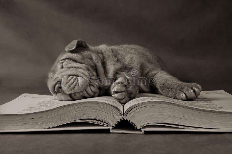 Filhote de cachorro que estuda na manhã imagem de stock royalty free