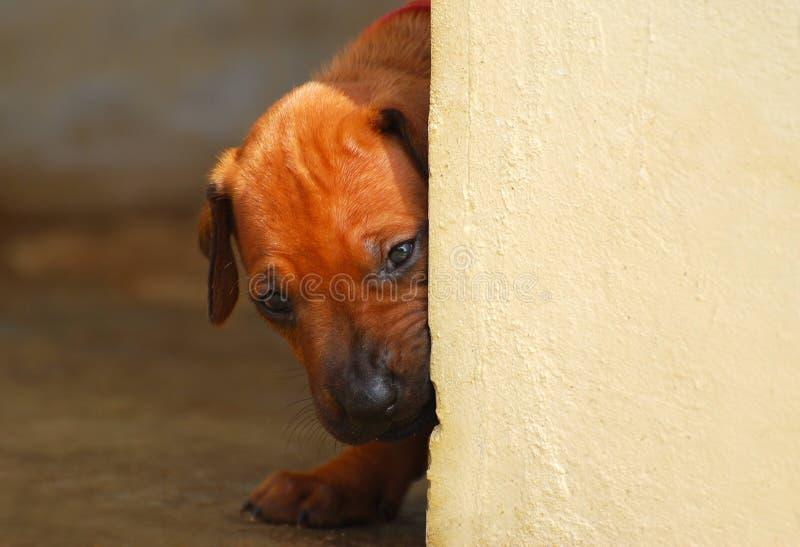 Filhote de cachorro que olha em torno do canto fotos de stock