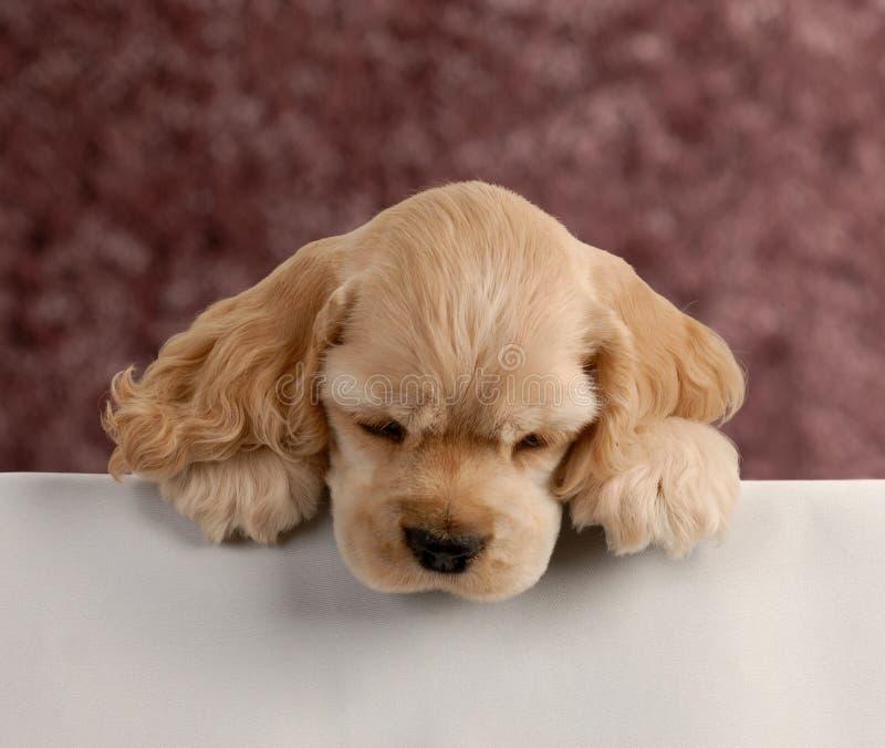 Filhote de cachorro que olha sobre o primeiro plano branco fotografia de stock