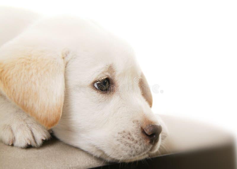 Filhote de cachorro que pensa 2 fotografia de stock