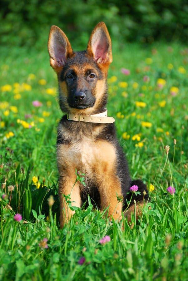 Filhote de cachorro que senta-se em um campo foto de stock royalty free