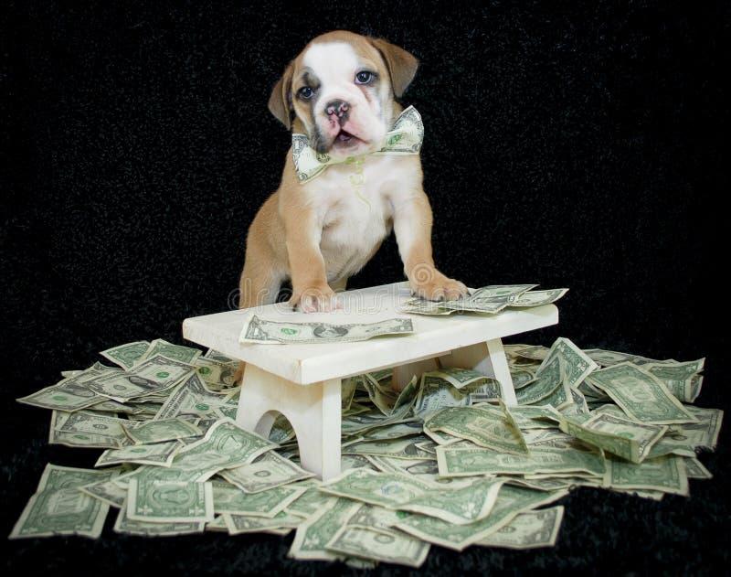 Filhote de cachorro rico do buldogue. imagens de stock
