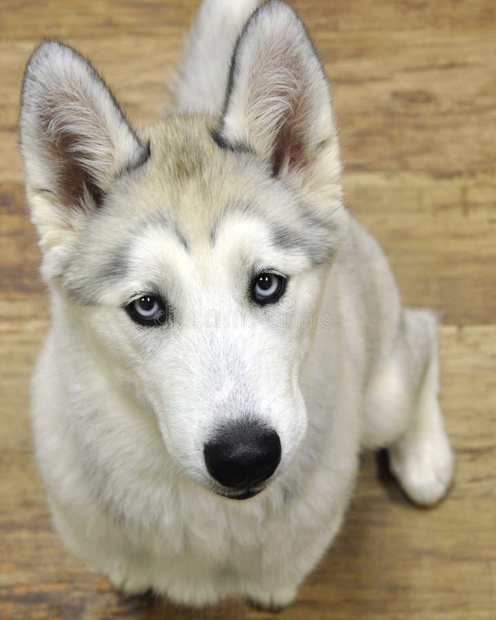 Filhote de cachorro ronco imagens de stock