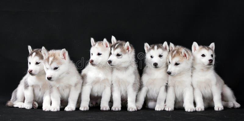 Filhote de cachorro ronco imagens de stock royalty free