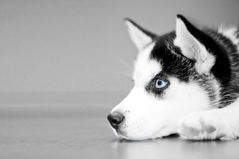 Filhote de cachorro ronco imagem de stock