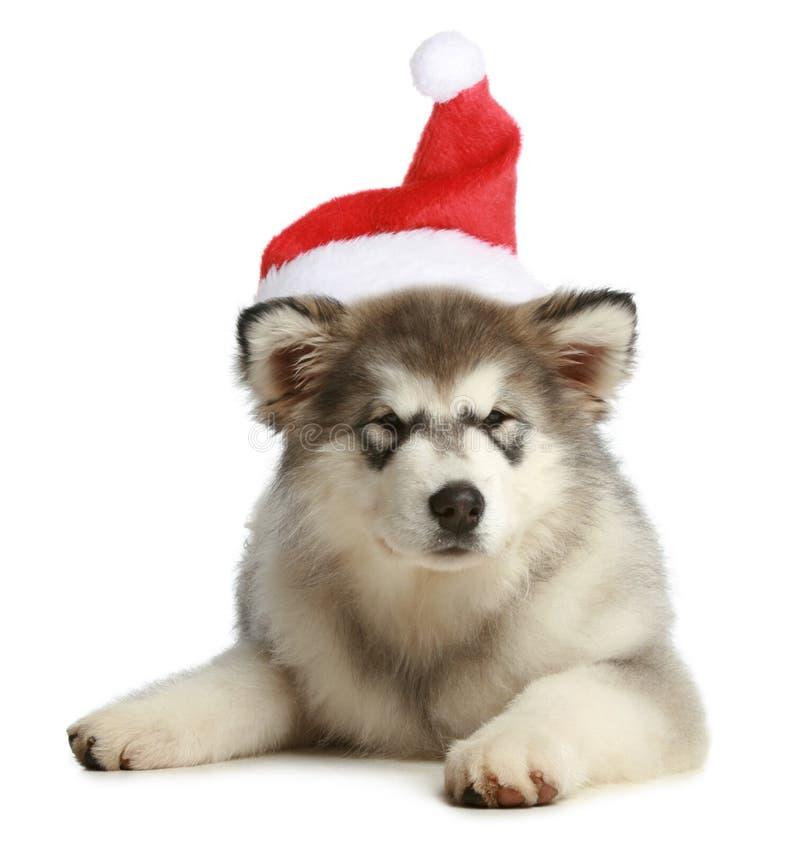 Filhote de cachorro ronco (3 meses) em um tampão do Natal imagem de stock
