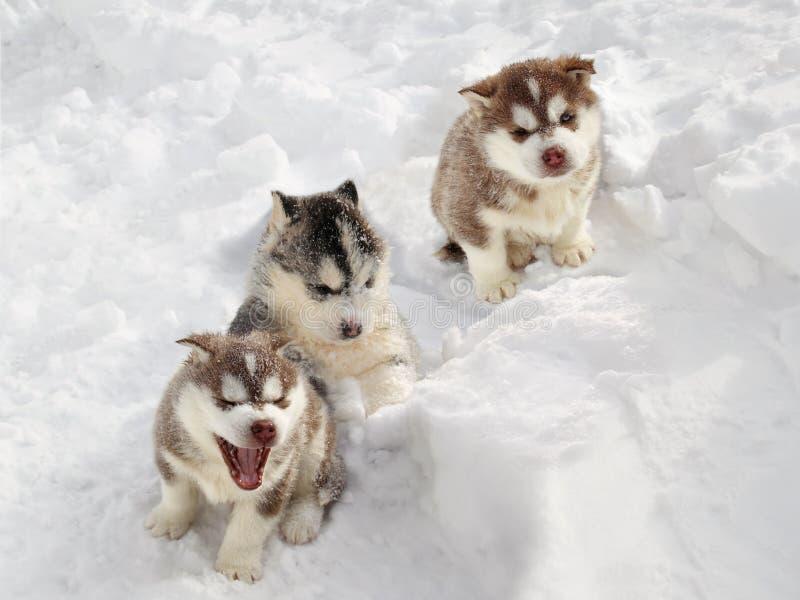 Download Filhote De Cachorro Ronco Na Neve Foto de Stock - Imagem de freeze, cuidado: 29841922