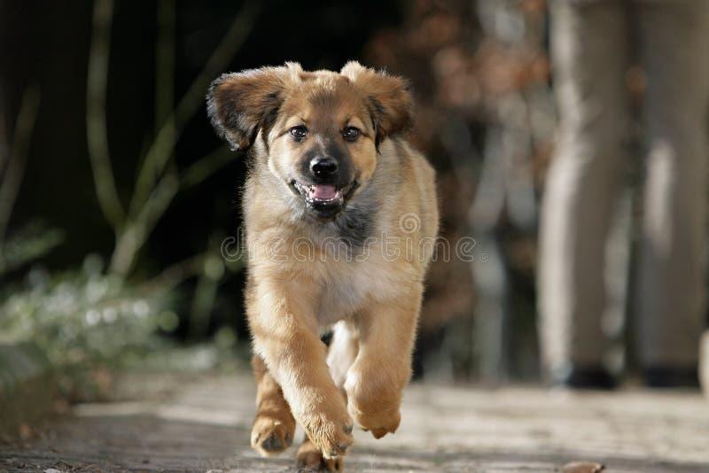 Filhote de cachorro Running foto de stock