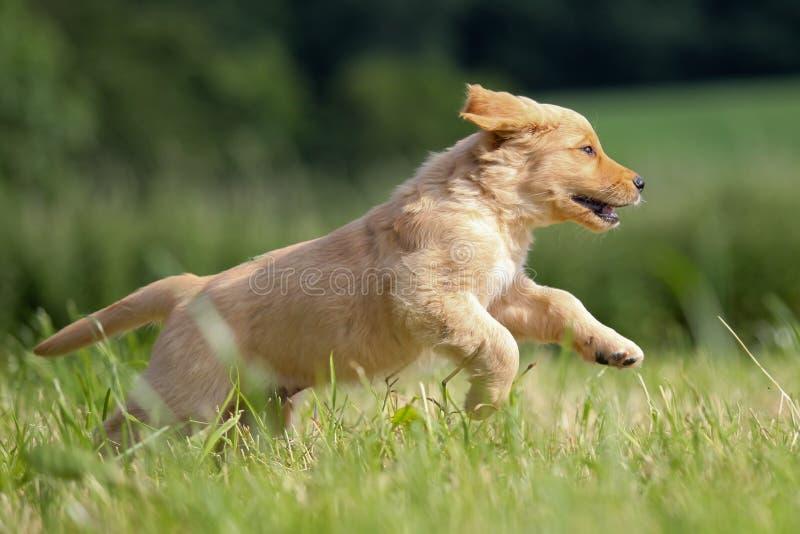 Filhote de cachorro Running do Retriever dourado fotos de stock royalty free