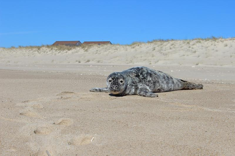 Filhote de cachorro de selo cinzento e branco do porto que expõe-se ao sol na praia litoral arenosa do oceano fotos de stock