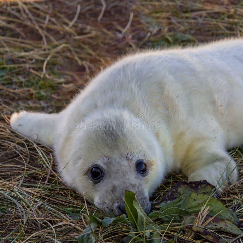 Filhote de cachorro de selo cinzento na reserva de Donna Nook imagem de stock royalty free