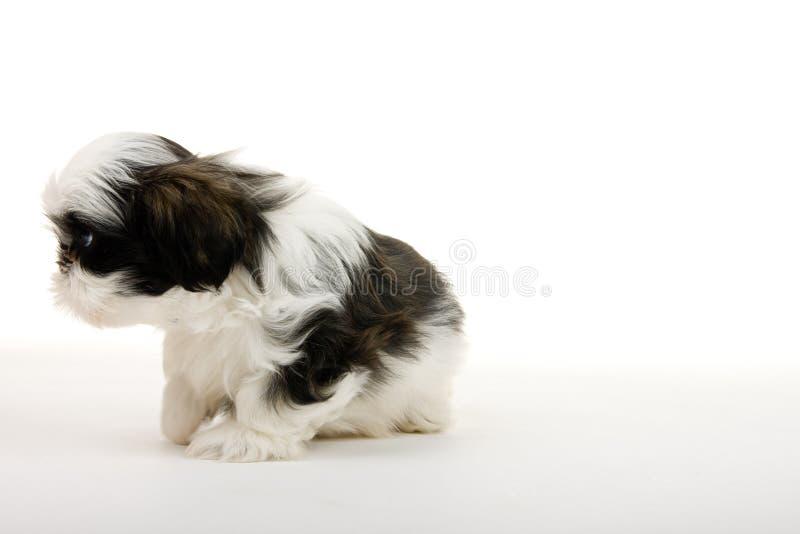 Filhote de cachorro sem o nariz fotografia de stock royalty free