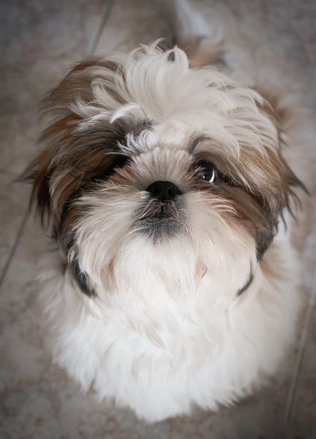 Filhote de cachorro de Shih Tzu foto de stock royalty free
