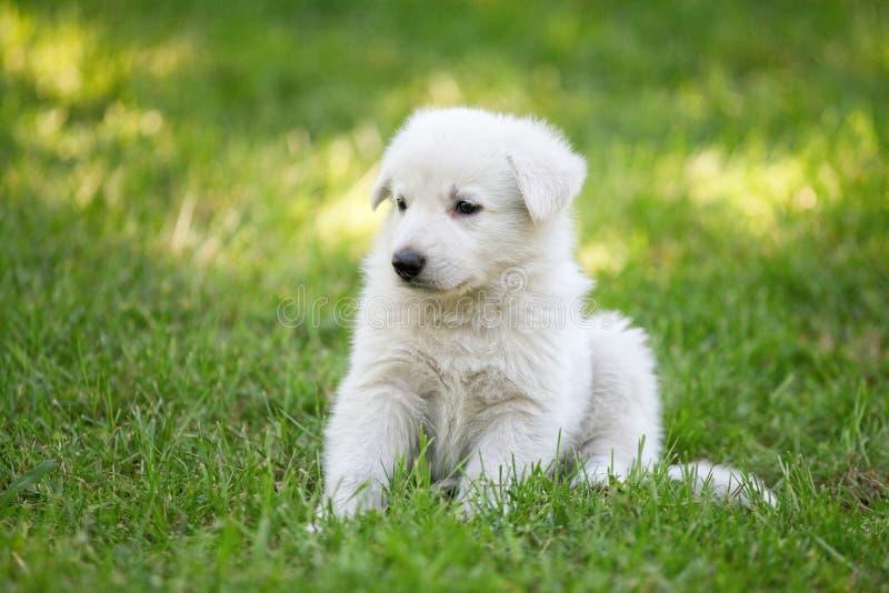 Filhote de cachorro suíço branco do `s do pastor fotografia de stock royalty free