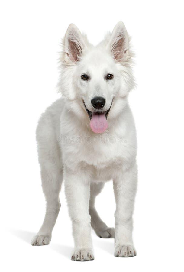 Filhote de cachorro suíço do pastor, 4 meses velho, posição imagem de stock