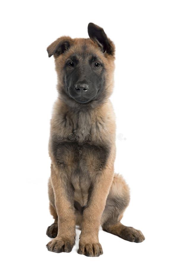 Filhote de cachorro Tervuren belga (3 meses) imagens de stock