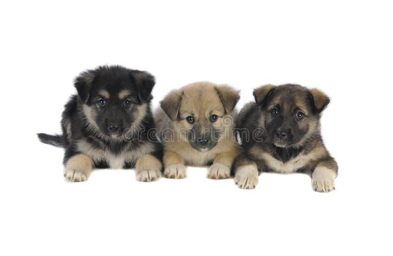 Filhote de cachorro três foto de stock