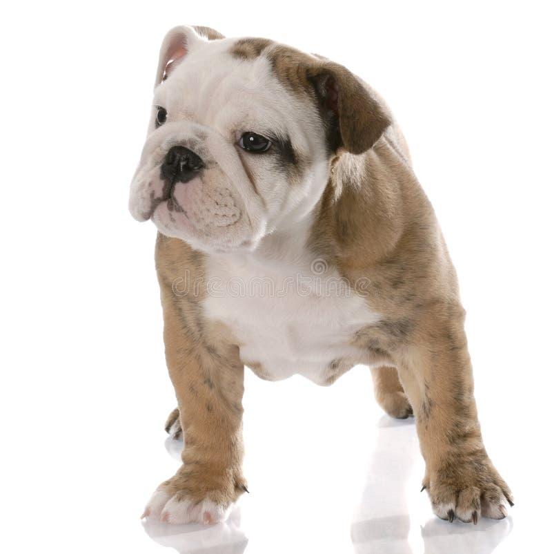 Filhote de cachorro velho de nove semanas fotos de stock royalty free