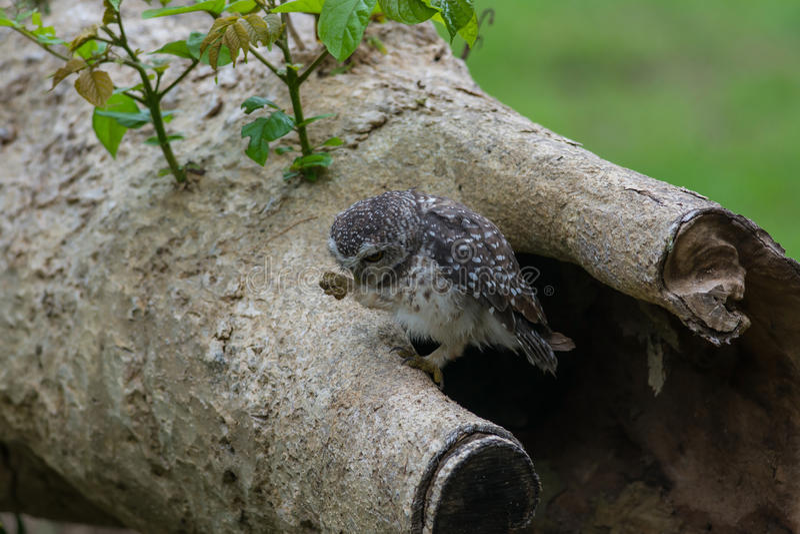 Filhote de coruja manchado da coruja pássaro bonito imagens de stock royalty free