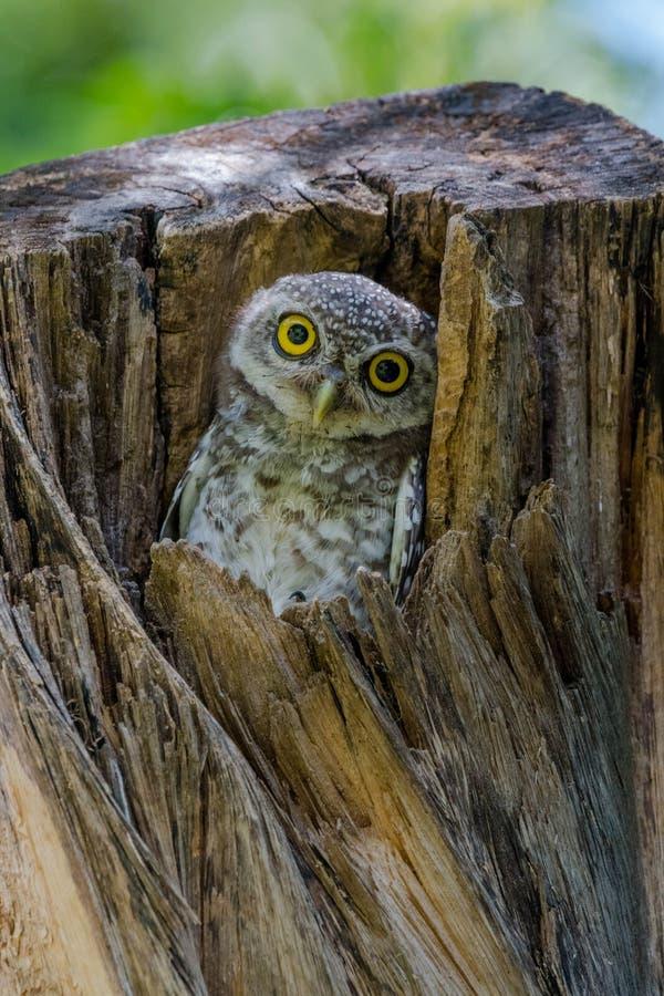 Filhote de coruja manchado que olha curiosamente de seu ninho na cavidade da árvore imagens de stock