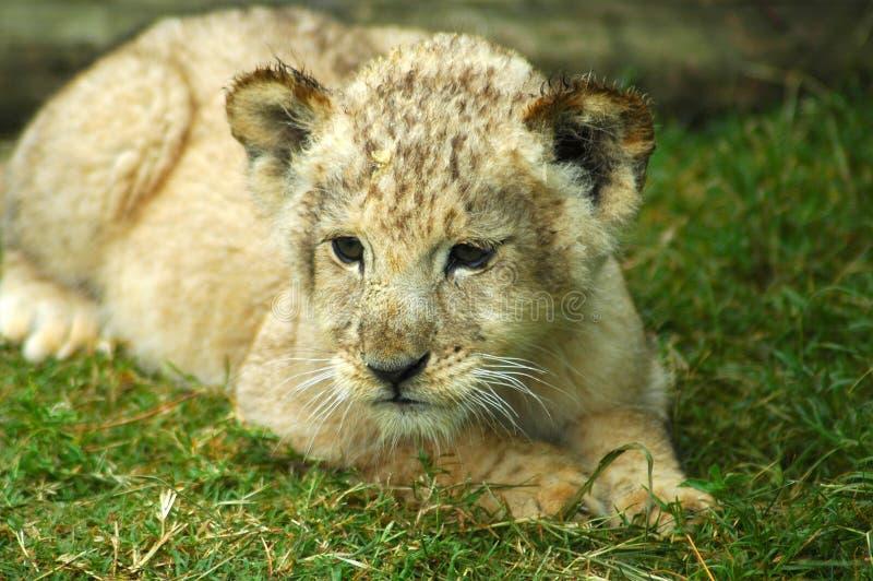 Filhote de leão imagem de stock royalty free