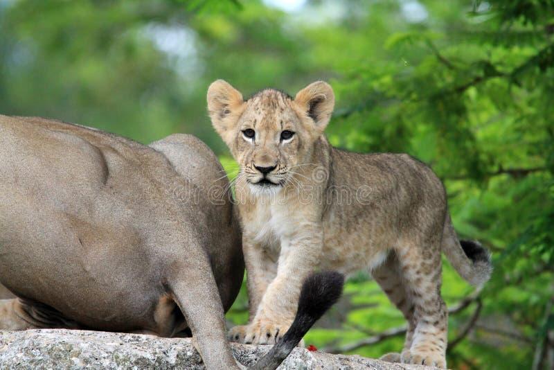 Filhote de leão bonito fotografia de stock royalty free