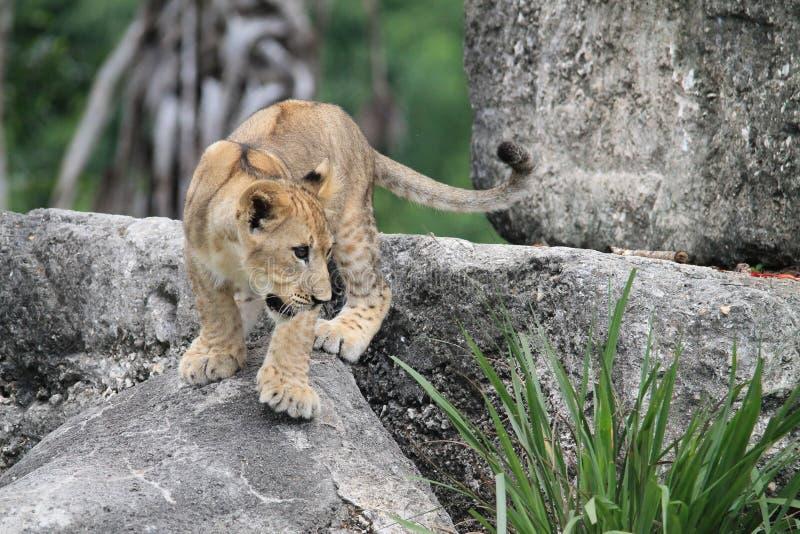 Filhote de leão na rocha fotografia de stock